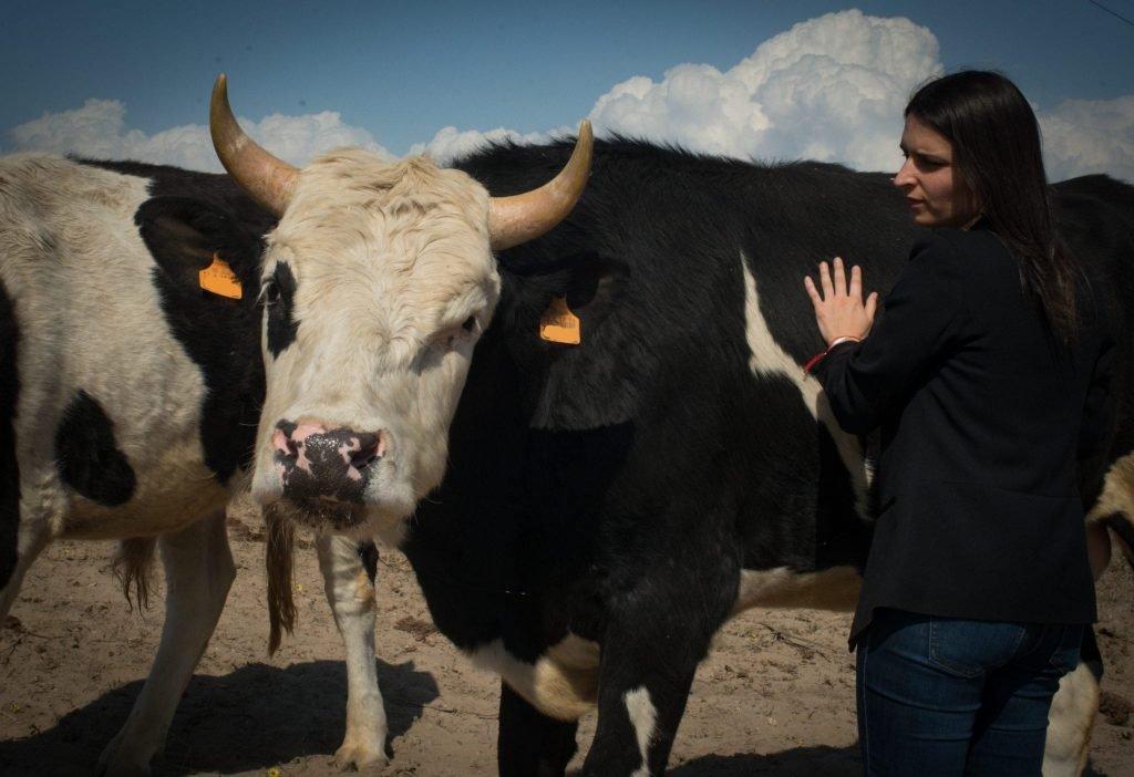 AVP | 11 Bovinos salvos do matadouro em Portugal: vê como podes apoiar!